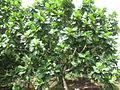 Breadfruit - കടച്ചക്ക 08.JPG