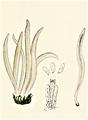 Bresadola - Clavaria fumosa.png