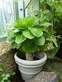 Brighamia insignis - US Botanic Garden - specimen 2.jpg