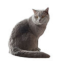 British Shorthair Assis.jpg