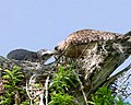 Broadshoulderhawksnest grandcypresspreserve florida (19842750225).jpg
