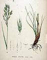 Bromus erectus — Flora Batava — Volume v20.jpg