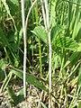 Bromus japonicus sl3.jpg