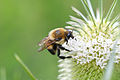 Brown-belted Bumble Bee (Bombus griseocollis) (14490686429).jpg