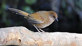 Brown-capped Laughingthrush.jpg