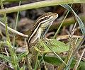 Brown Basilisk (Basiliscus vittatus) - Flickr - gailhampshire.jpg