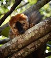 Brown Lemur, Madagascar (21595603679).jpg