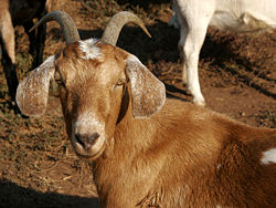 Female goat, also called a nanny