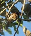 Bucco macrodactylus Chestnut-capped Puffbird (17924176764).jpg