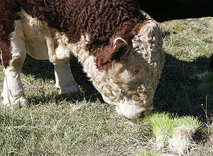 Forage - Bull feeding on grass