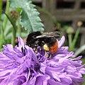 Bumblebee (Bombus lapidarius), Sandy, Bedfordshire (9166879825).jpg