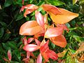 Bunga pucuk merah (16).JPG