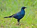 Burchell's Starling (Lamprotornis australis) (12008020063).jpg