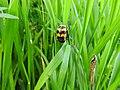 Burying beetle (28116547105).jpg