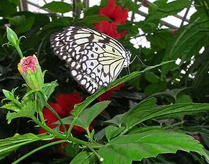 Butterfly of unknown species