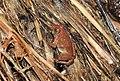 CEPF Burrowing Frog Fejervarya cepfi by Dr. Raju Kasambe DSCN0975 (15).jpg