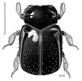 COLE Histeridae Gomyopsis kuscheli.png