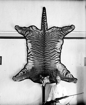 Javan tiger - Skin of Java tiger, 1915