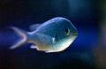 CSIRO ScienceImage 3403 Fish in aquarium.jpg