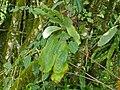 Cabbage Fern (Platycerium elephantotis) (6975221770).jpg