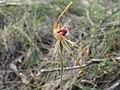 Caladenia longiclavata 01.jpg