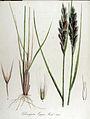 Calamagrostis epigeios — Flora Batava — Volume v13.jpg