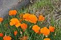 California poppy - Malcolm Manners 2.jpg