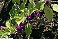 Callicarpa americana 9zz.jpg