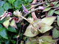 Callisia gentlei var. elegans - Copenhagen Botanical Garden - DSC08007.JPG