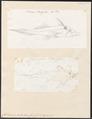 Callorhynchus antarcticus - 1700-1880 - Print - Iconographia Zoologica - Special Collections University of Amsterdam - UBA01 IZ14100011.tif