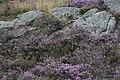 Calluna vulgaris (23507367458).jpg