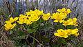 Caltha palustris 010.jpg