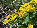 Caltha palustris sl2.jpg