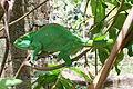 Calumma parsonii, Peyrieras reptile reserve 01.JPG