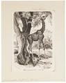 Camelopardalis giraffa - 1700-1880 - Print - Iconographia Zoologica - Special Collections University of Amsterdam - UBA01 IZ21600157.tif