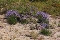 Campanula rotundifolia 3375.JPG
