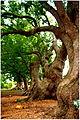 Camphor trees at Vergelegen Estate.jpg