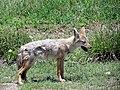 Canis anthus Ngorongoro Crater Safari.jpg