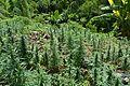 Cannabis Ganja Farm (18274435349).jpg