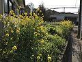 Canola flowers near Heiwadai Bus Terminal.jpg