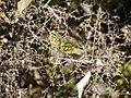 Capparis rotundifolia (6781244577).jpg