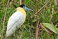 Capped Heron (Pilherodius pileatus) - Flickr - berniedup.jpg