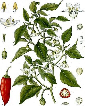 Capsicum annuum - Image: Capsicum annuum Köhler–s Medizinal Pflanzen 027