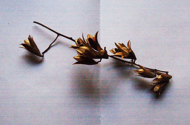 File:Capsules of Toona sinensis.JPG