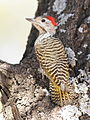 Cardinal Woodpecker - MALE, Dendropicos fuscescens at Pilanesberg National Park, Northwest Province, South Africa (14905332910).jpg
