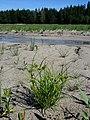 Carex bohemica sl31.jpg