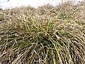 Carex humilis sl9.jpg