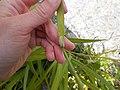 Carex pendula leaf (3).jpg