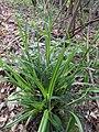 Carex pendula plant (30).jpg