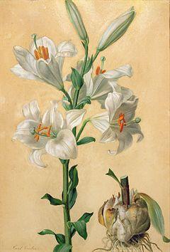 Lilia biała: zdjęcie